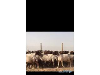 » غنم مقاني نعيم العدد 73 الشرقيه