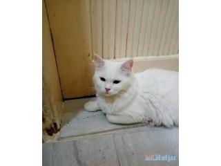 » قطه شيرازي حامل جده