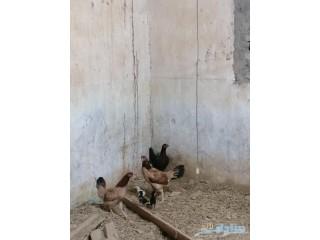 » دجاج بلدي وباكستاني أبها