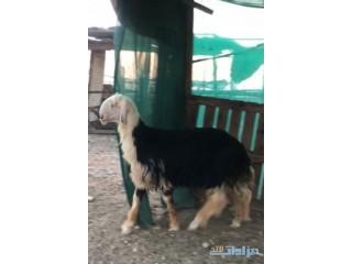 » مشروع فحل نجدي الرياض