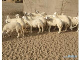» 31 رخال حريه فواخر مع فحلها في املج-الحدموجود ينبع