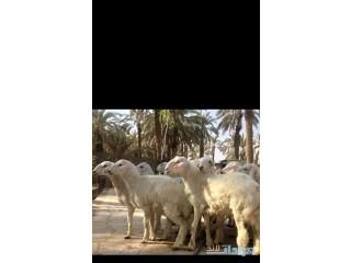 » ذبايح مع التوصيل لجميع احياء الرياض الرياض