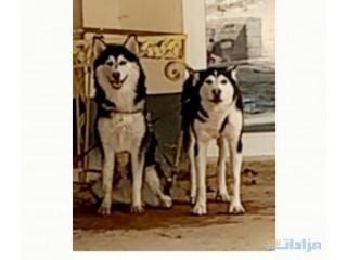 كلب هاسكي ذكر للبيع مستعجل