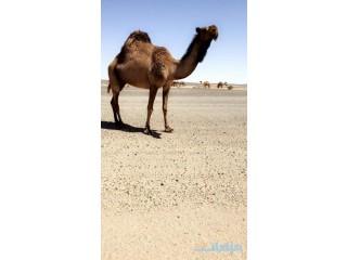 » للبيع صفرا ضروبه طيبه الرياض