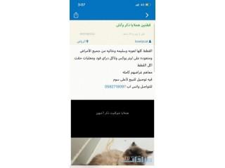 » قط و قطه هملايا شيرازي سكوتش فولد الرياض