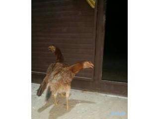 » زوج دجاج مهجن بلدي مع بكستاني أبها