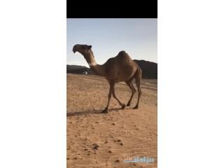 » للبيع الجذعه شعلا من ابل ناصر ابن شويه السوم 25000 الرياض