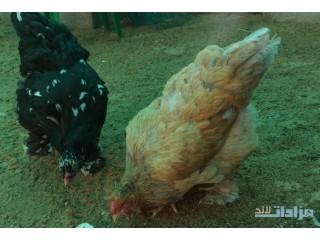 » 3 دجاج براهما بياض للبيع القصيم
