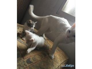 » قطط شيرازي امريكي للبيع القصيم