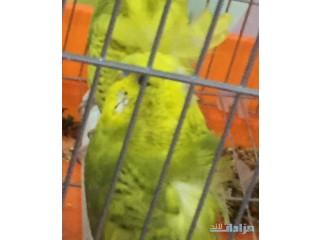 » طيور هوقر الرياض