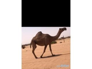» للبيع لقحه صفرا الرياض