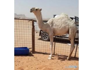 » حوار قعود أوضح باتلي الرياض