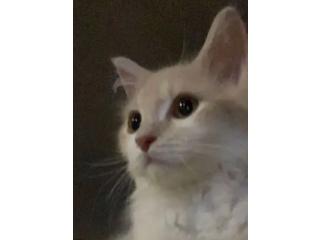 قطط - قط ذكر شيرازي