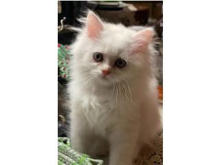 قطط مون فيس شيرازي