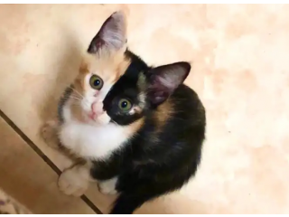 قطتين اناث للتبني