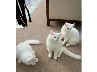 للبيع 3 قطط شيرازية