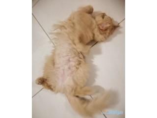 قطة شيرازية للبيع (تبغى تزاوج)