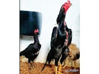 » دجاج شامو فواخر