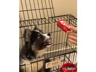 كلب هاسكي هجين انثى