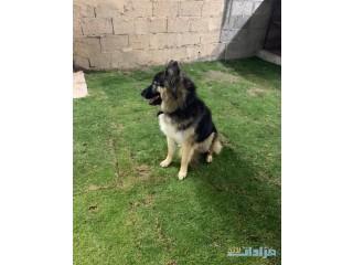 الرياض - كلب الأب هاسكي