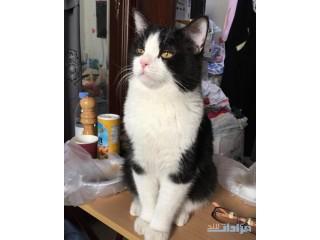 قطط ذكور شيرازي لتزواج
