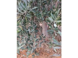 ابو حمدان لتوريد الشجار الزيتون بجميع انواعه