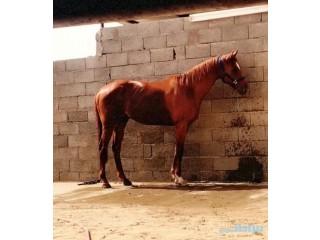 » حصان انغليزي نجران