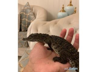 » تمساح الرياض