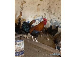 » دجاج بلدي أبها